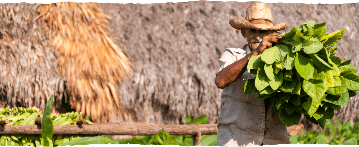 Harvesting the tobacco leaves...